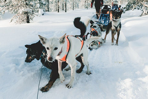 Upplev svenska fjällen med hundspann